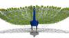 CG  Peacock120421-001